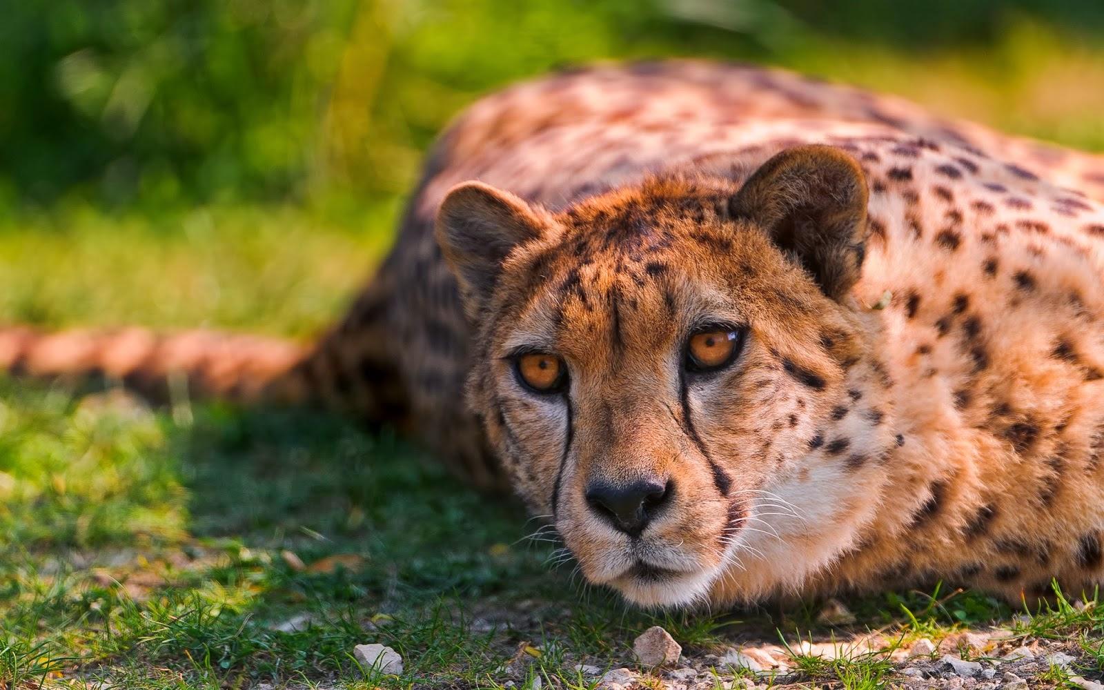 """<img src=""""http://2.bp.blogspot.com/-T3S5MVIoPvk/U8qNoX8Yv2I/AAAAAAAAL7w/iNDRC4AlUoo/s1600/cheetah-lying-hd-wallpaper.jpg"""" alt=""""Cheetah Lying HD Wallpaper"""" />"""