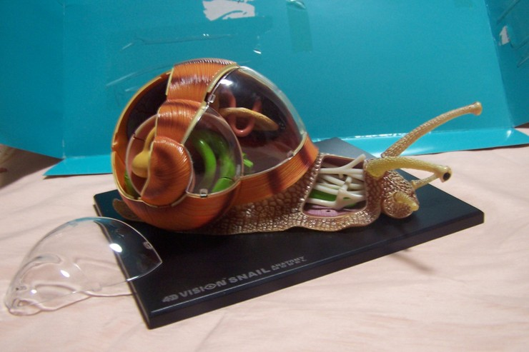 kidstong-Little Science Museum: Snail anatomy - assembling snail