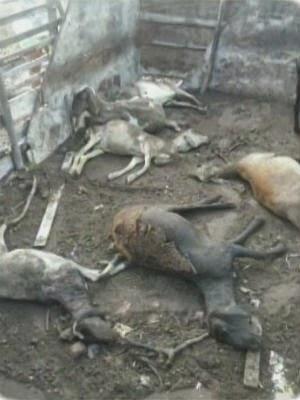 Ovelhas e cabras foram encontradas mortas em Feira de Santana (Foto: Reprodução/TV Subaé)