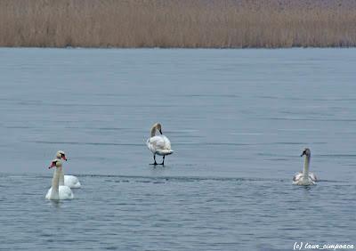 Lebada pe gheata Swan on ice Cygne Olor Schwaene Cygnus Hattyúk Κύκνος