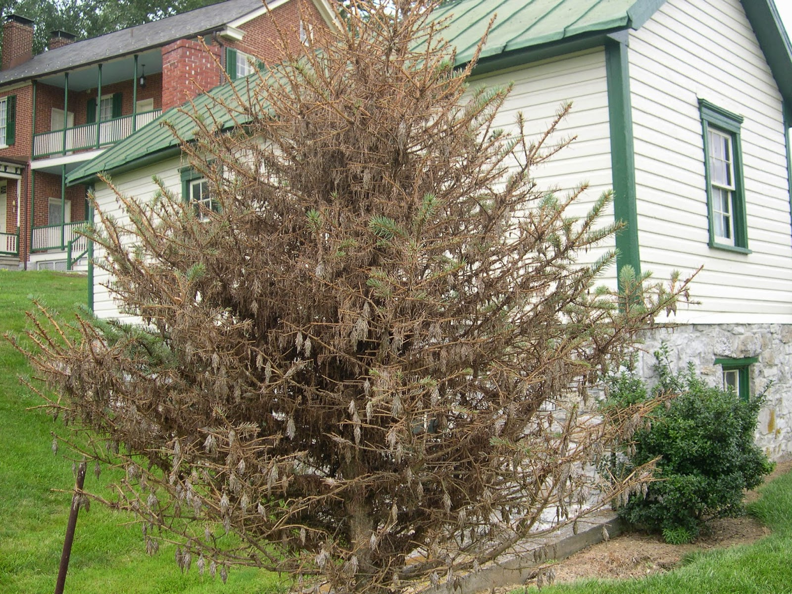 groshs lawn service  bagworms on evergreen trees  u0026 shrubs