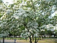 真っ白い花が樹木一面を覆い、まるで雪が積もっているのではと・・・