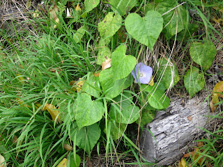 Ipomoea sp., Convolvulaceae, morning glory family