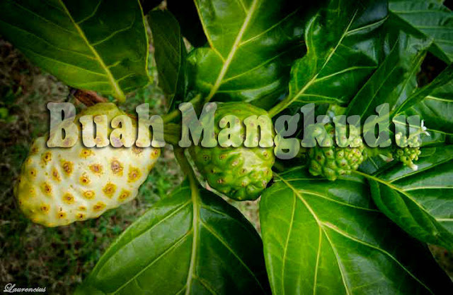 Buah-Mangkudu-Pace