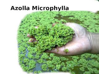 Cara Membuat Fermentasi Azolla Microphylla