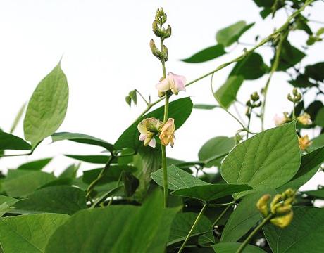 Điều trị bệnh viêm mũi dị ứng bằng cây đậu ván dại