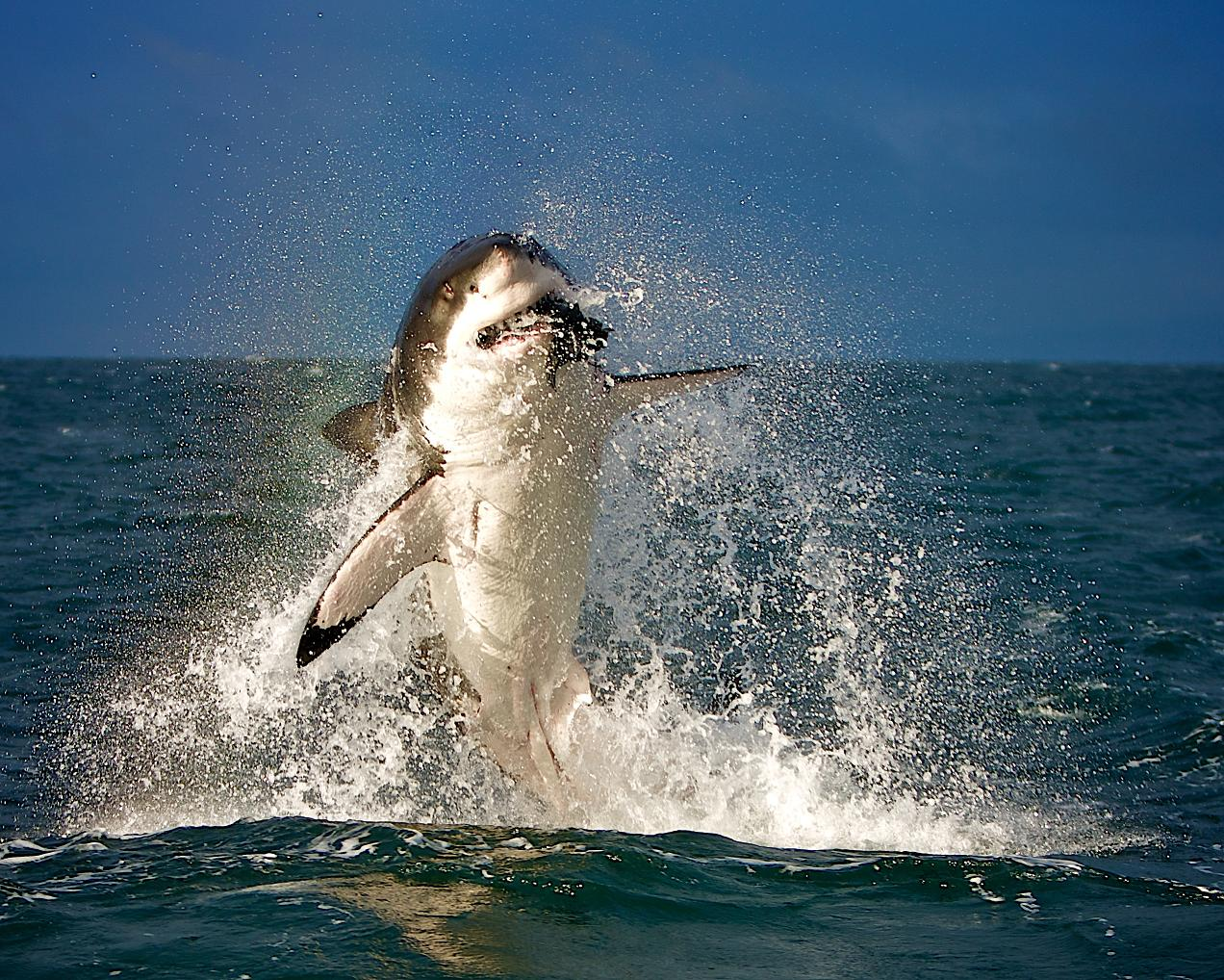 Shark the biggest animals kingdom for Picture great