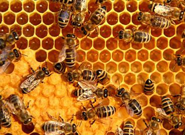 Cara Penyimpanan Propolis yang Baik, lebah madu