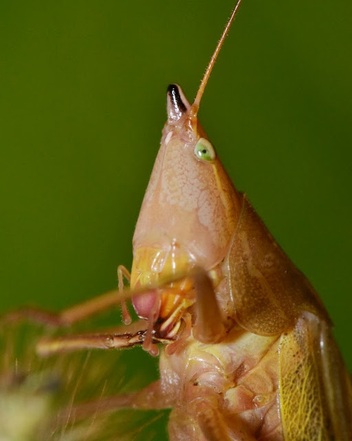 Katydid with pointy head - the Eastern Swordbearer, Neoconocephalus ensiger