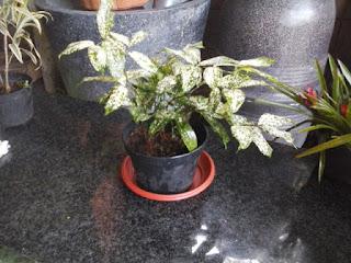 tanaman florida