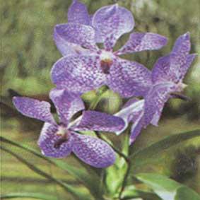 Tanaman bunga biru