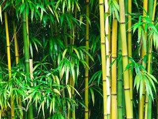 Khasiat Mustika Bambu Buntet Gandrung / Mustika Bambu Buta