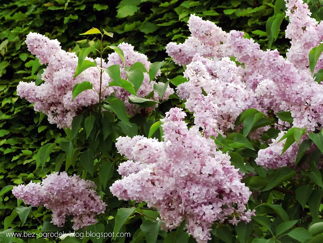 lilacs