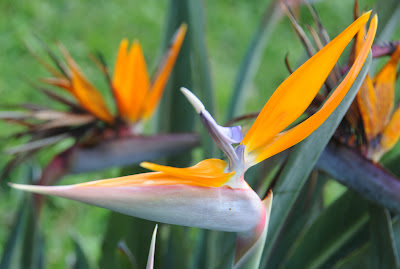 strelitzia, ave do paraíso