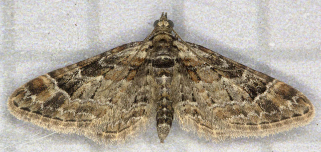 Double-striped Pug, Gymnoscelis rufifasciata. Geometer. Found resting on top of my moth trap in Hayes on 19 March 2012.