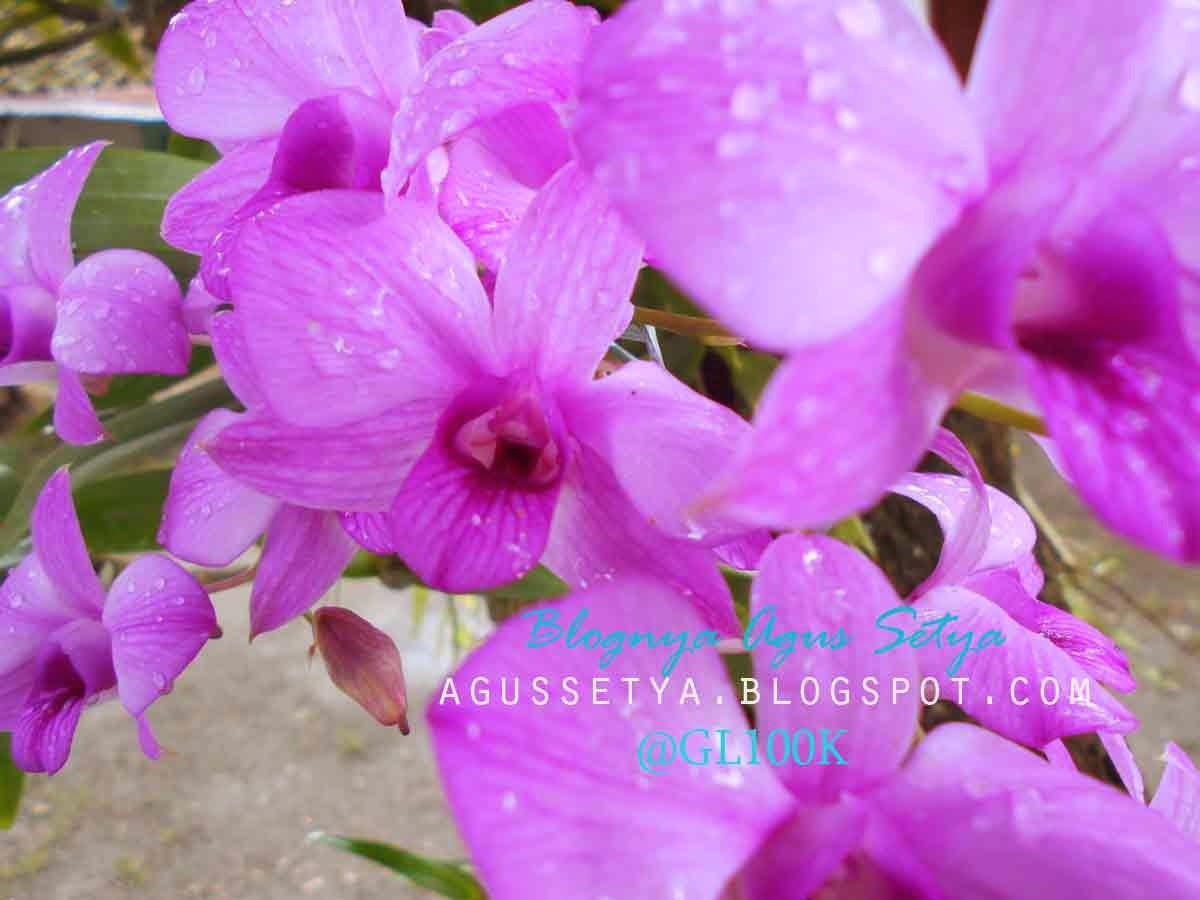 gambar bunga anggrek yang indah