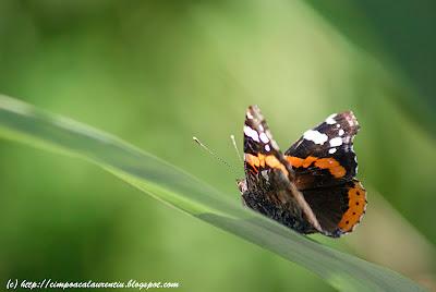 fluture butterfly Schmetterling papillon  mariposa πεταλούδα