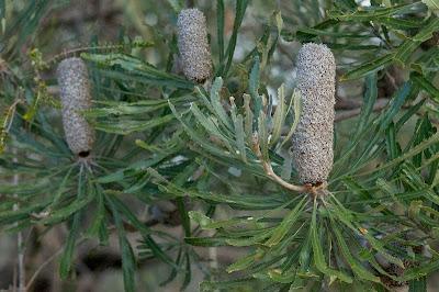 Banksia sp