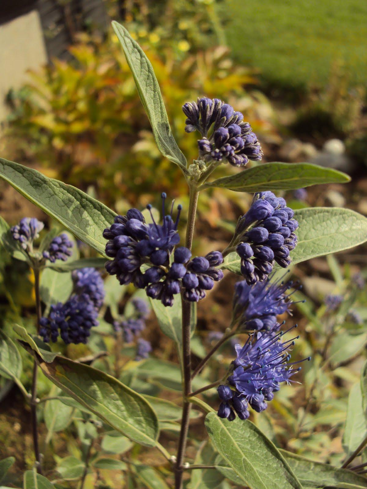 blåskæg busk