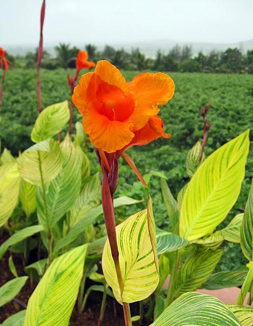 orange hibuscus