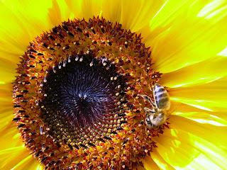 Pčela na cvijetu slike besplatne pozadine za desktop download