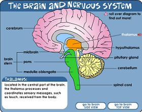 Brain nerves diagram