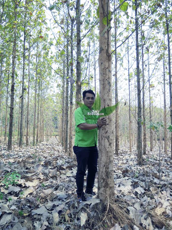 Pohon_Jati_Solomon_Umur_4_tahun_Semarang4