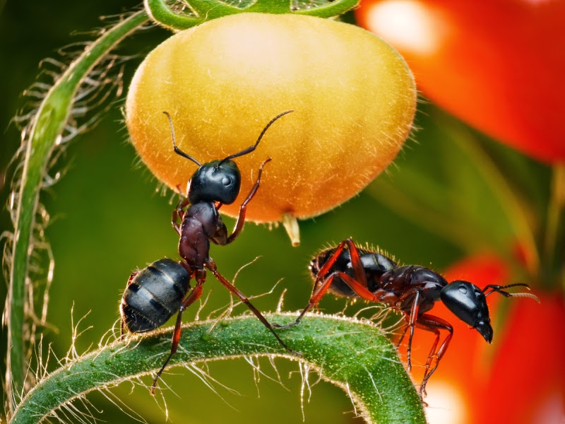 Get Rid of Ants in Your Vegetable Garden