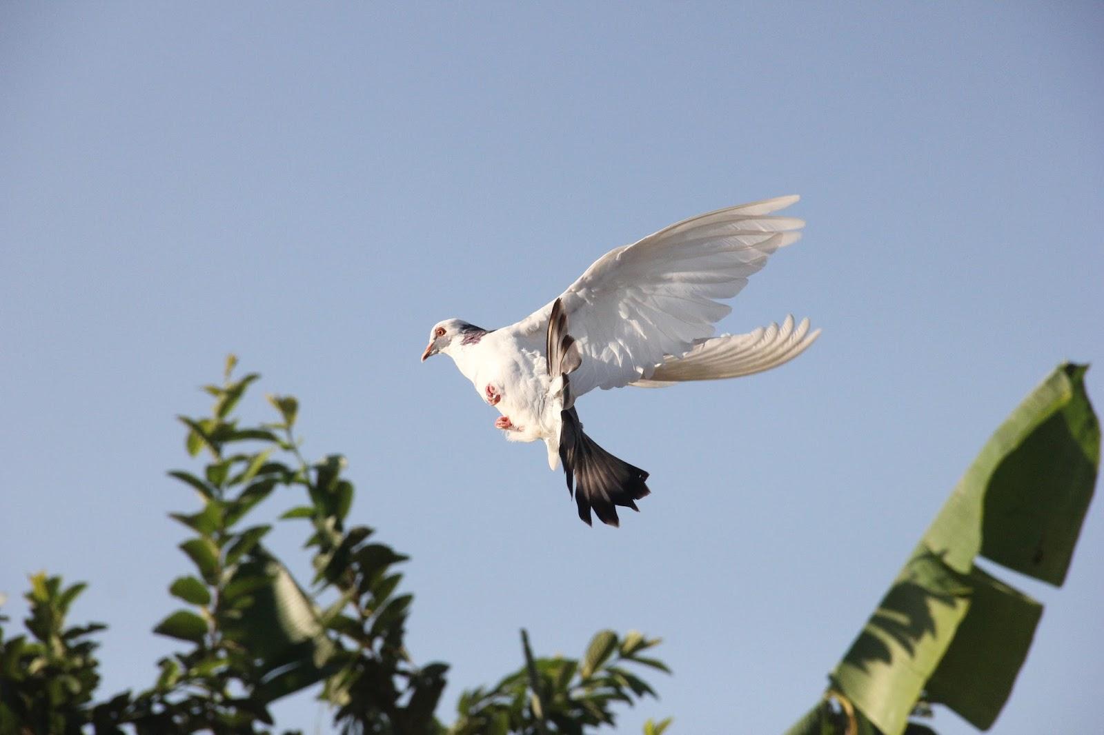 Rangkuman Cara Melatih Burung Cendet Muda Agar Cepat Gacor ...