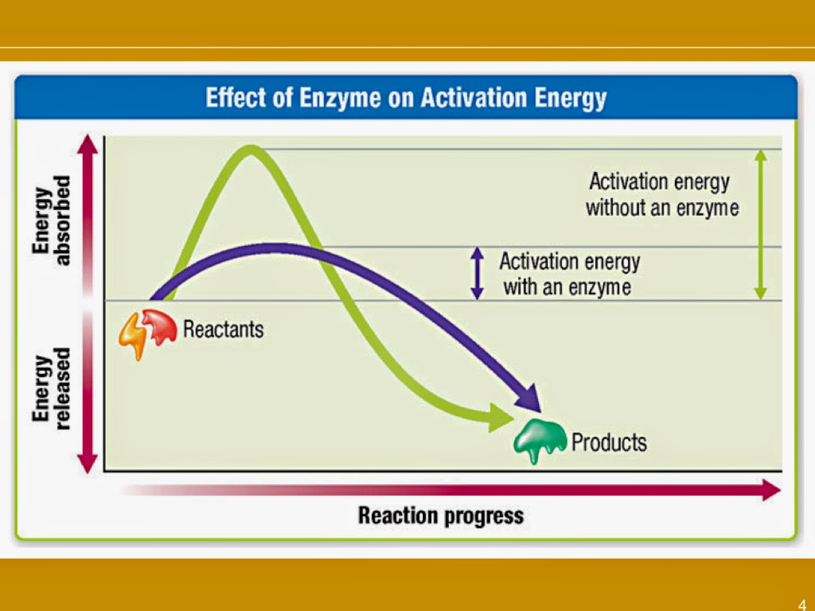 an introduction to enzymes The chymotrypsin enzyme-substrate complex intro to enzymes all living  organisms must be able to self-replicate and catalyze chemical reactions  efficiently.