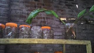ternak kroto toples dan tanaman