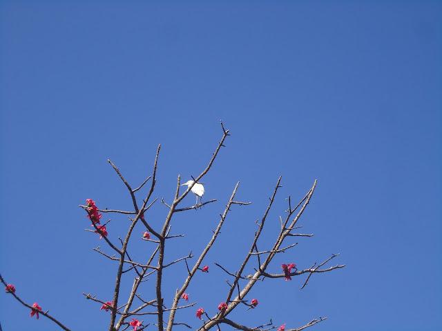 Sawar, Bombax ceiba, bird