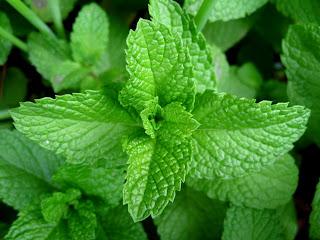 أفضل 10 علاجات عشبية في مطبخك Mint-leaves-2007