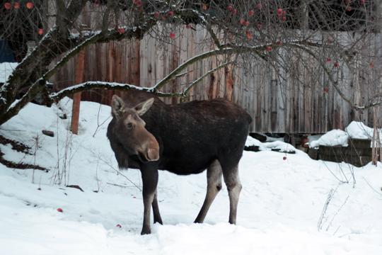 Sandpoint moose