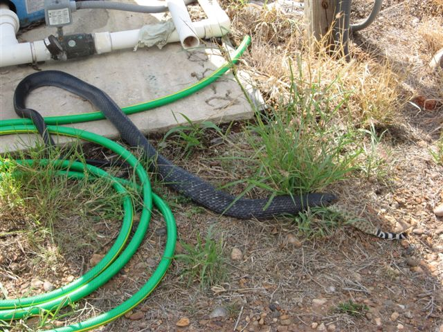 snake eats snake, snake vs snake, blue indigo snake eating other snake, snake pictures, blue indigo snake pictures, diamondback rattlesnake, blue indigo snake eating rattlesnake