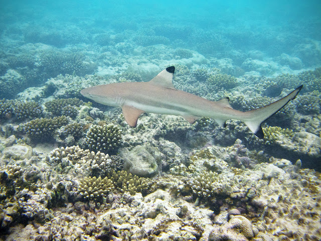 Komodo Dive Cente - Blacktip Reef Shark