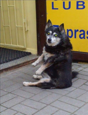 Собака сидит как человек