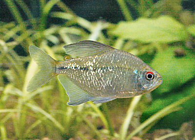 animal wildlife tetra the tetra is a small and colourful fish native ...