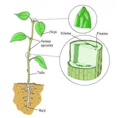 Cultivo Loco: El tallo de la planta de cannabis APB