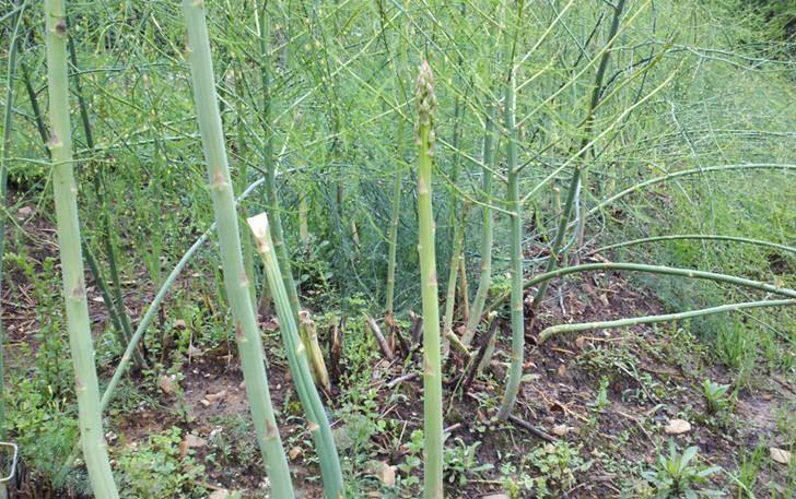 Asparagus : Nama Tanaman