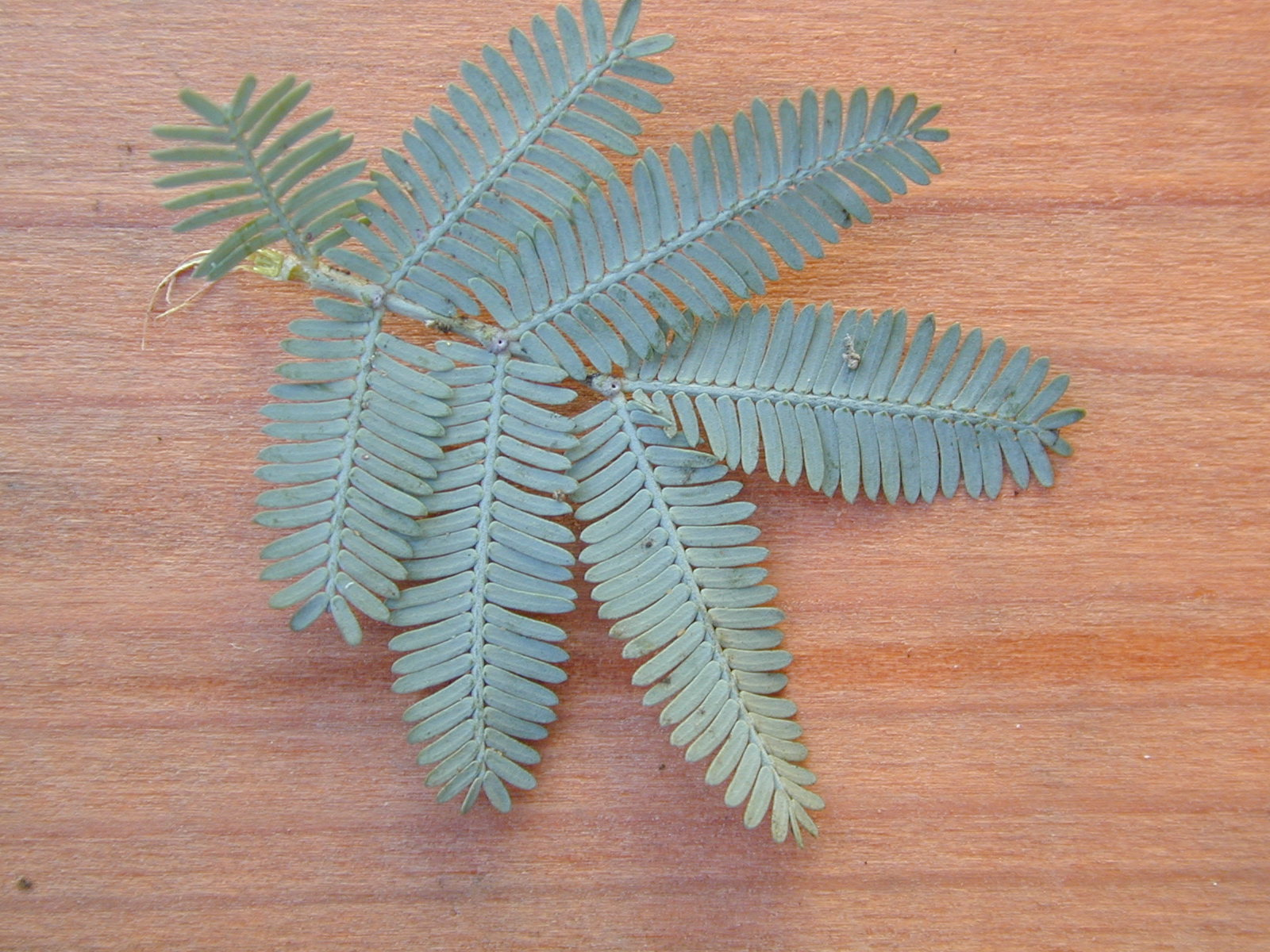 Acacia Baileyana Leaves