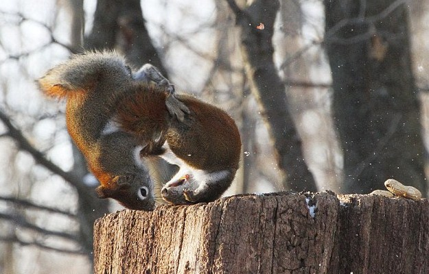 The ultimate squirrel battle, funny squirrel fight, funny squirrel pictures, funny pictures