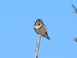 Image of a Northern Hawk Owl