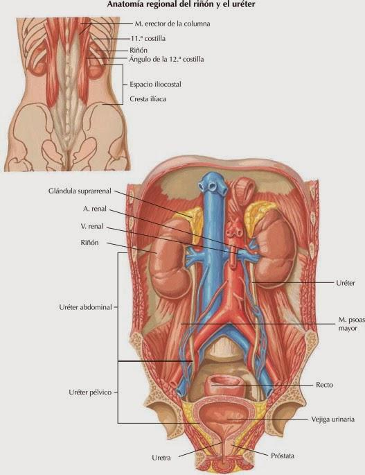 anatomia urologica : ANATOMIA