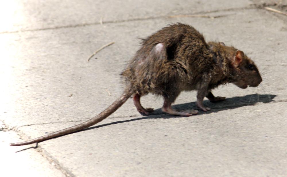 tikus liar