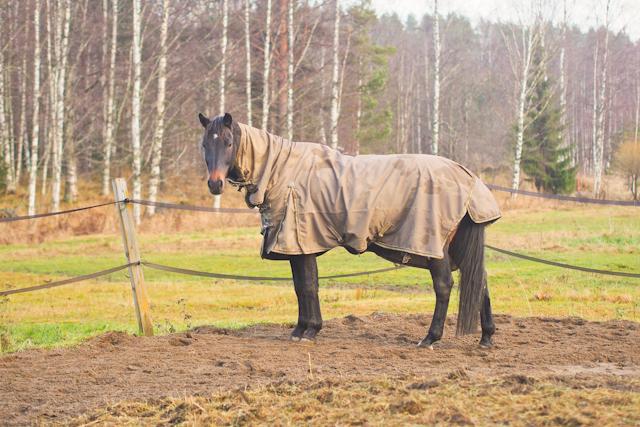 Hevonen jäykkä takaa