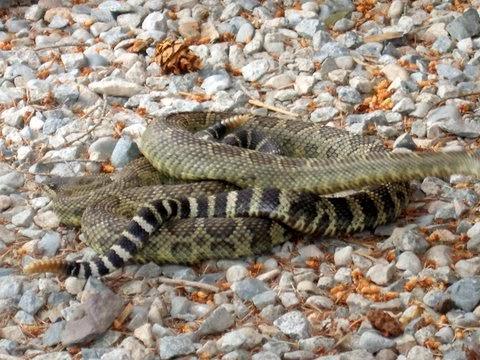 Okanagan Similkameen Stewardship rattlesnake