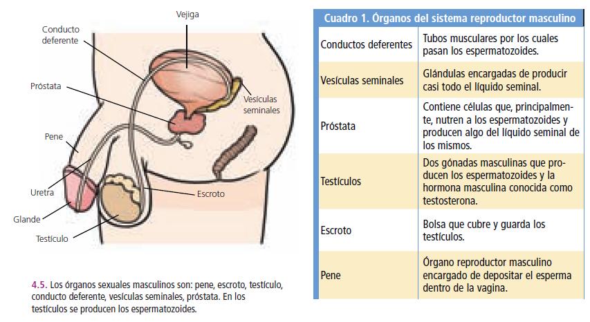 Aparato Reproductor Sexual Masculino Y Femenino   apexwallpapers.com