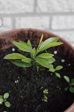 """Kumquat """"Orange"""" - vom Kern zur Pflanze"""