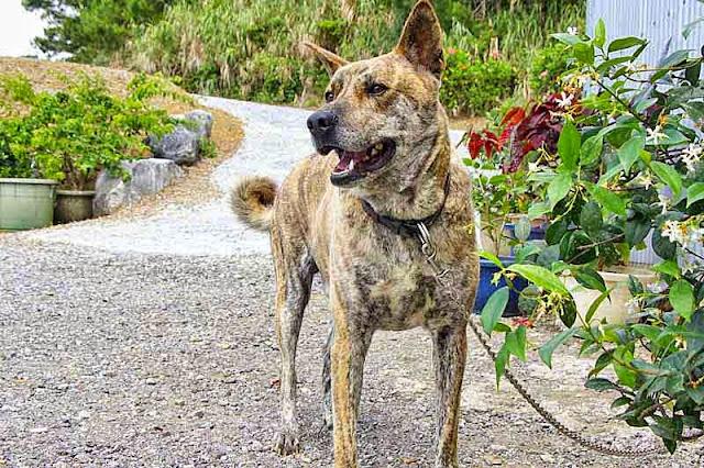 Ryukyu Inu, Tora, dog